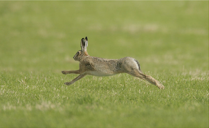 Brown Hare running