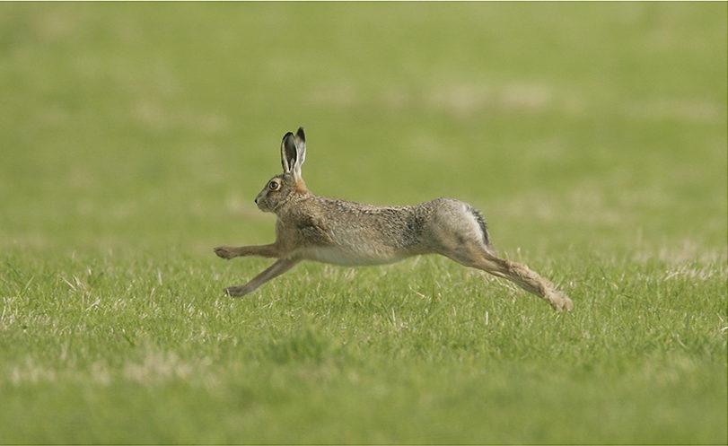 Brown Hare running