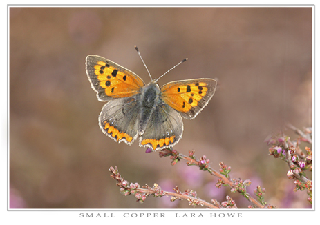 _Small Copper