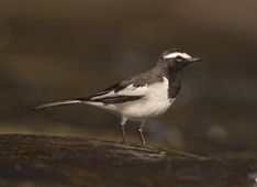 White-browed wagtail20131212002_1