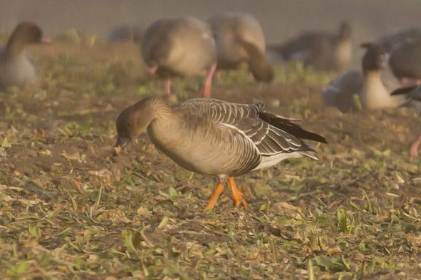 tundra-bean-goose
