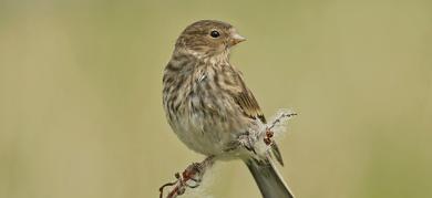 twite-bird