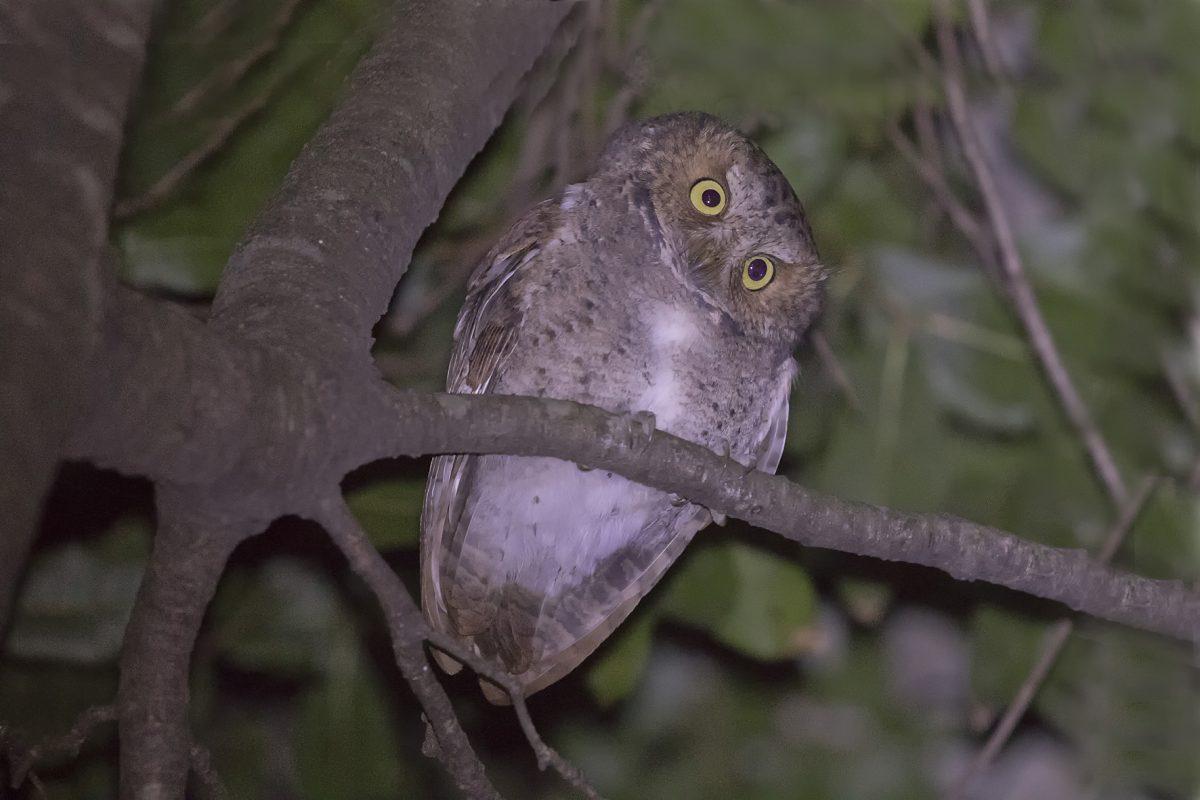 Mountain Scops Owl190102001