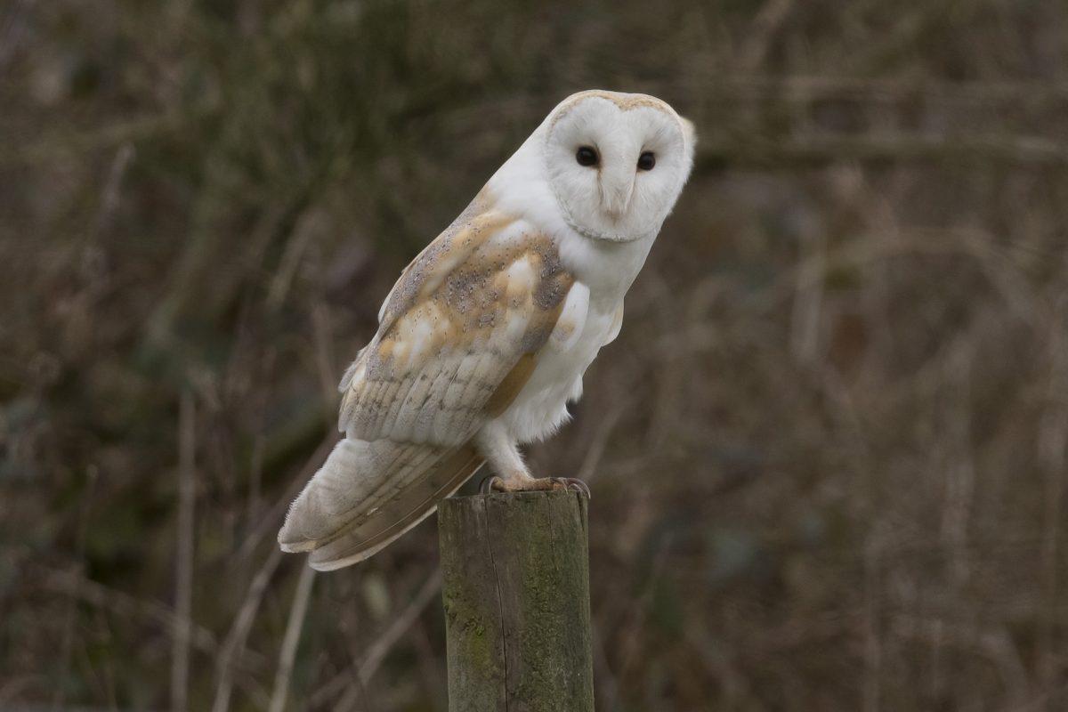 Barn Owl190212001