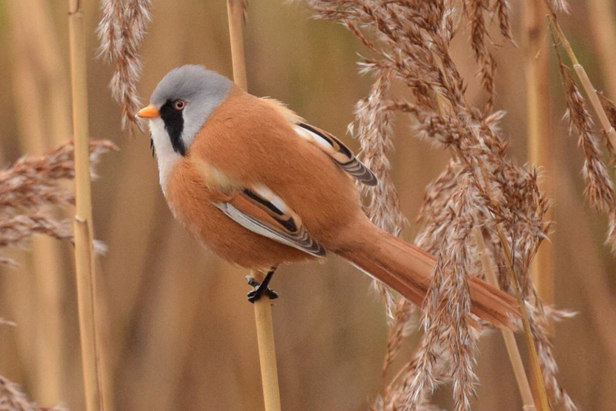 Bearded Tit2