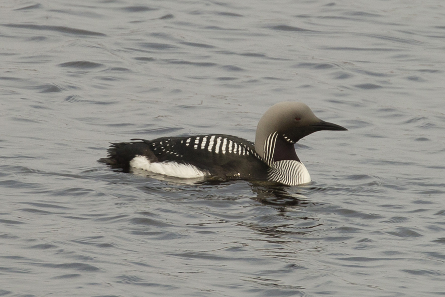 Black-throated Diver190426003
