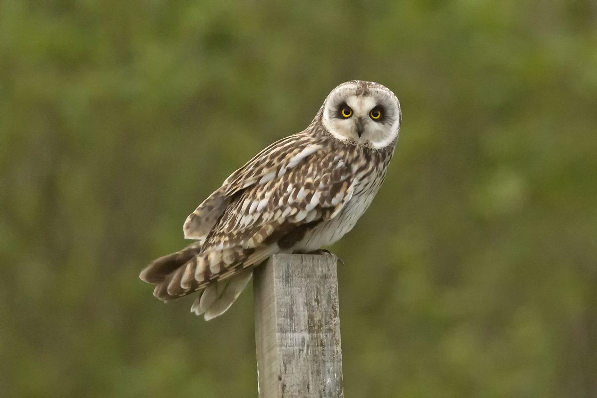 Short-eared-Owl190619003