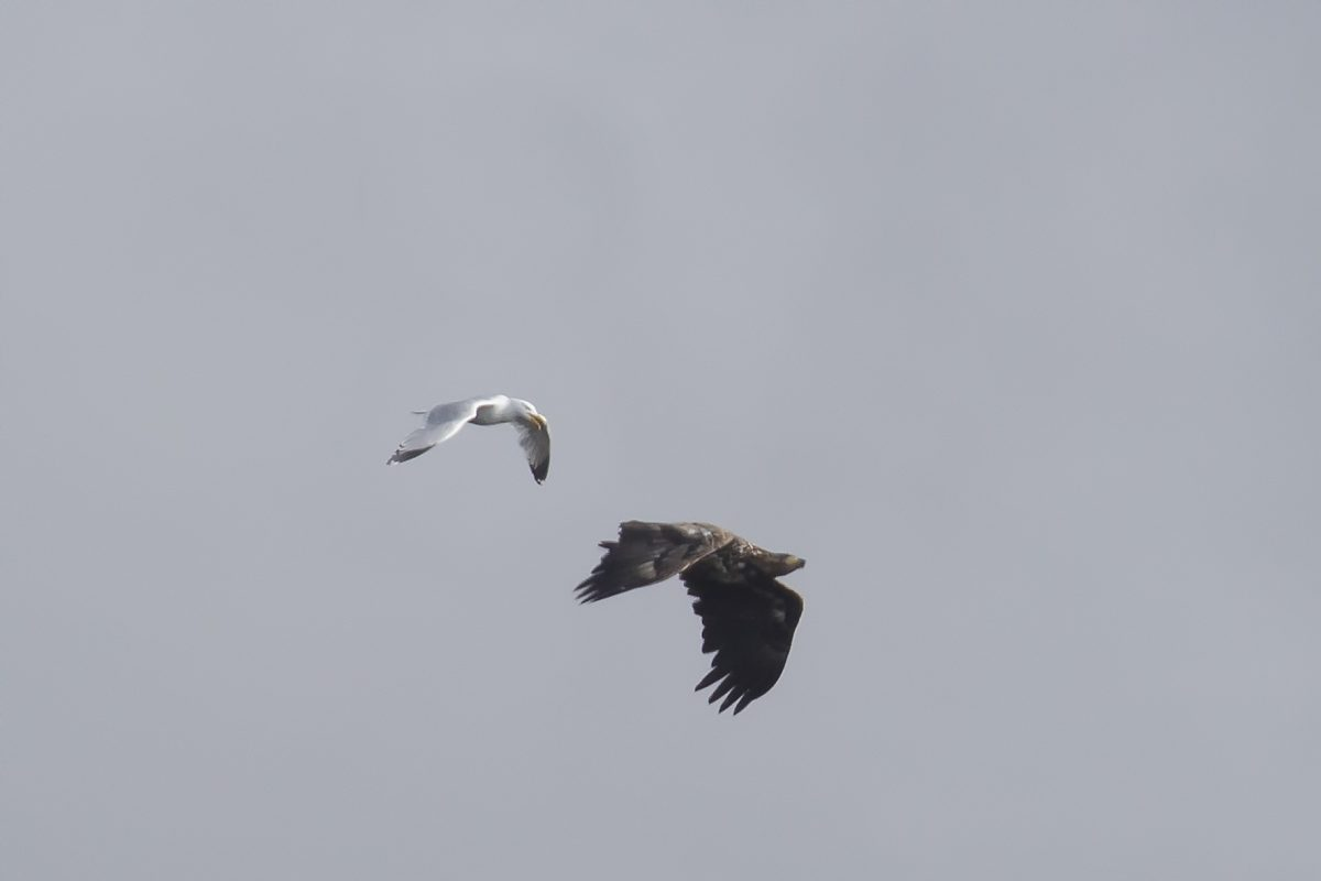 White-tailed-Eagle-mobbed190619001