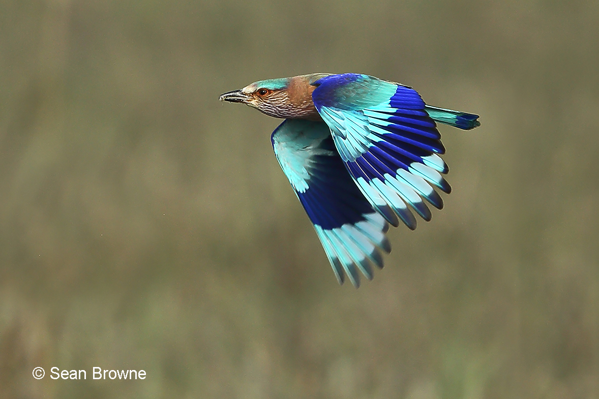 002 Indian Roller 2000 Pench