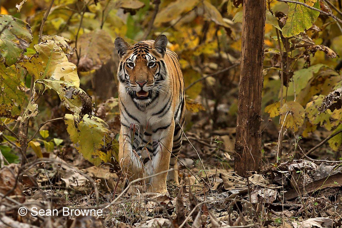 003 Royal Bengal Tiger 2000 Pench