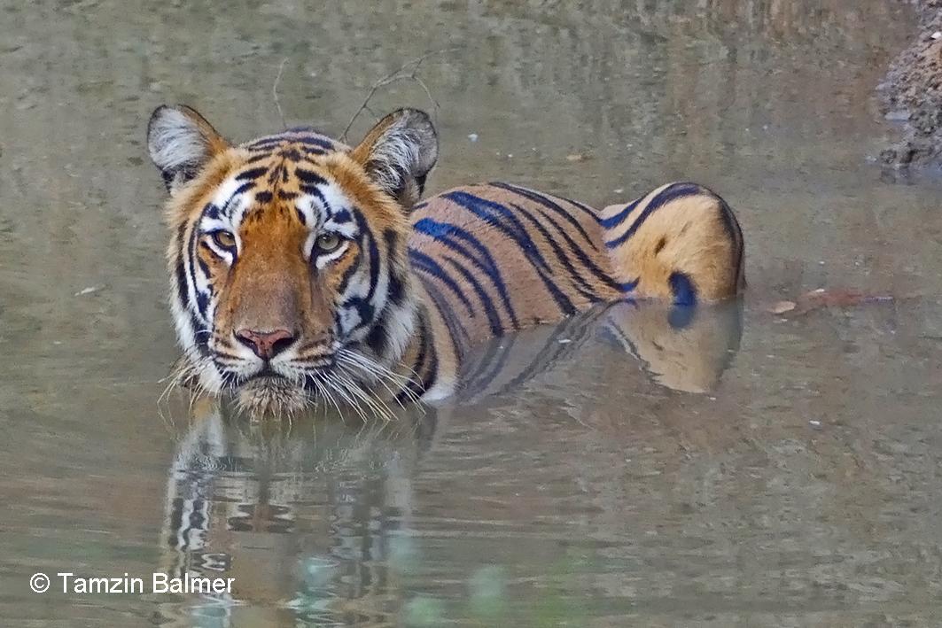 004 Tiger Tamzin 002