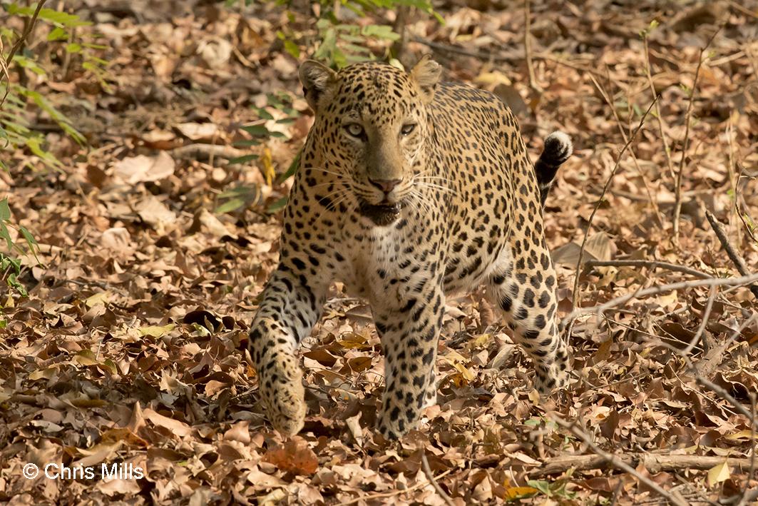 005 Asian Leopard180320001
