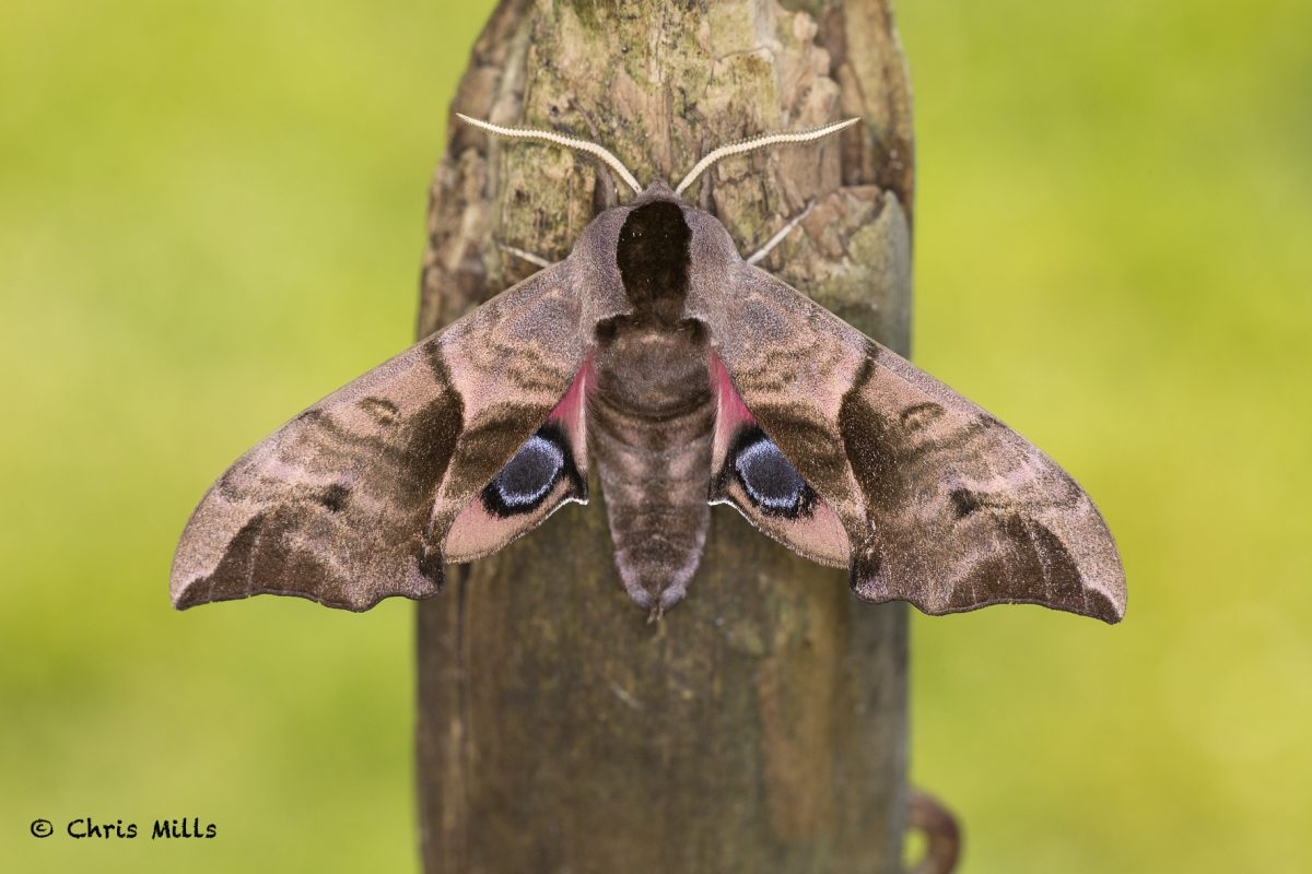 Eyed-Hawk-moth20200531_0052