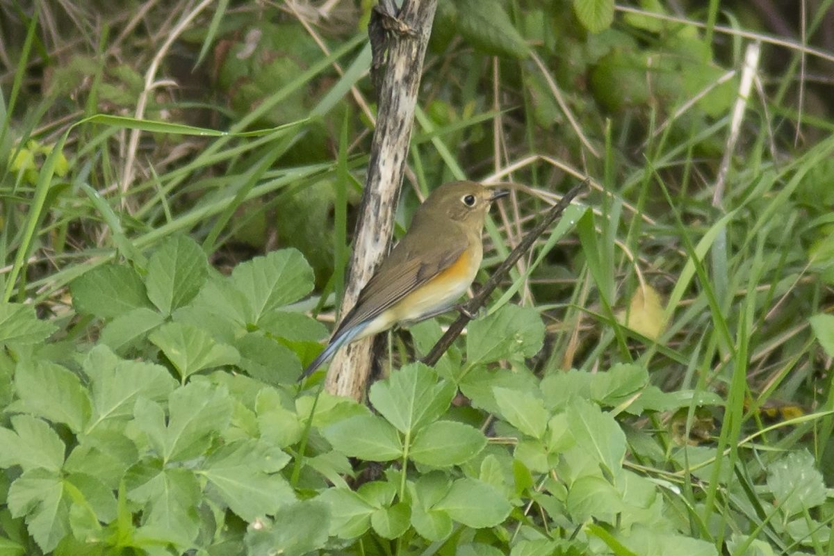 Red-flanked-Bluetail945A5986