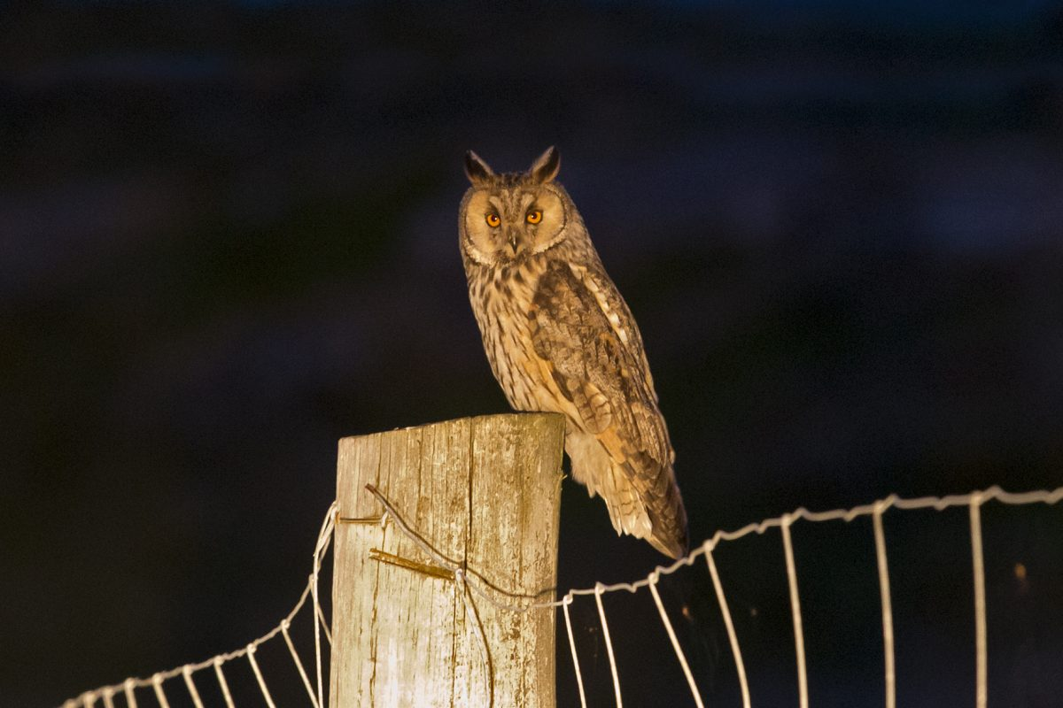 Long-eared owl180612033